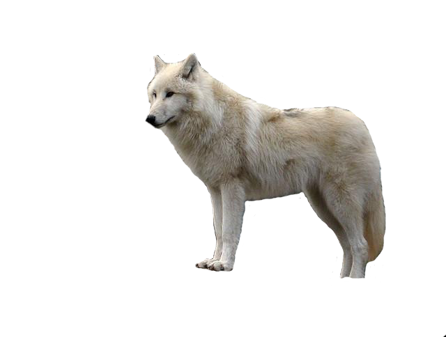 White Wolf With Transparent Png Png Mart Png White Wolf Wolf