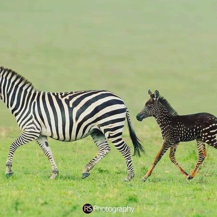11+ Animal with zebra striped legs ideas