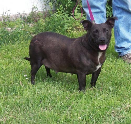 Stella Is An Adoptable Chocolate Labrador Retriever Corgi Dog In South Saint Paul Mn This Dog Is Chocolate Labrador Retriever Corgi Dog Chocolate Labrador
