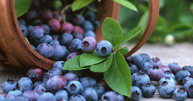 فوائد التوت البرى أبرزها منع عدوى المسالك البولية والحماية من أمراض القلب Blueberry Blueberry Bushes Fruit