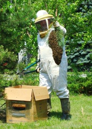 Capturing a swarm of bees should be done by a beekeeper... In Maine we have the Bee Whisperer  he's been teaching many how to handle bees.  Looking forward to taking his class