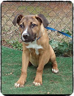 Boxer Mix Puppy for adoption in Marietta, CARL