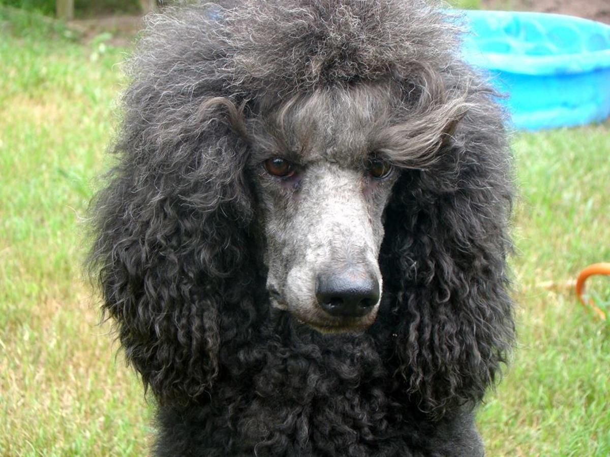 Akc Standard Poodle Puppies Coming Soon In Daytona Beach