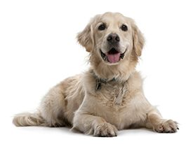 Canine Splenic Hemangiosarcoma Metropolitan Veterinary Associates