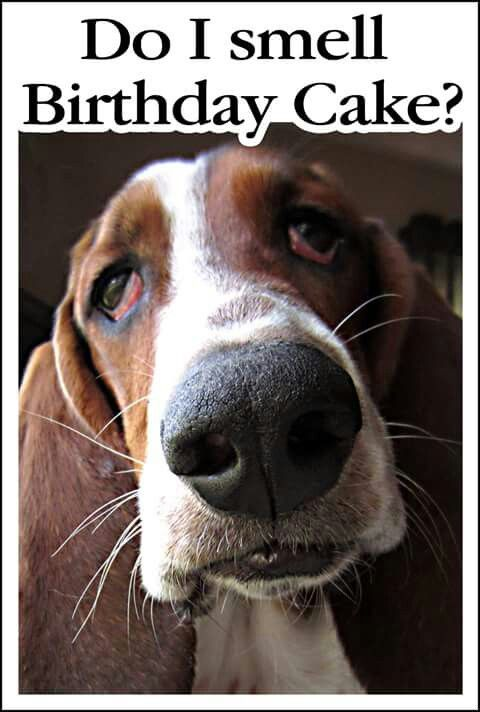 Capone will be 13 on 101316 oh my pinterest basset hound capone will be 13 on 101316 happy birthday cardsbday bookmarktalkfo Gallery