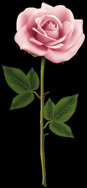 Pin By Liz Goodman On Florals Pinterest Pink Rose Png Pink