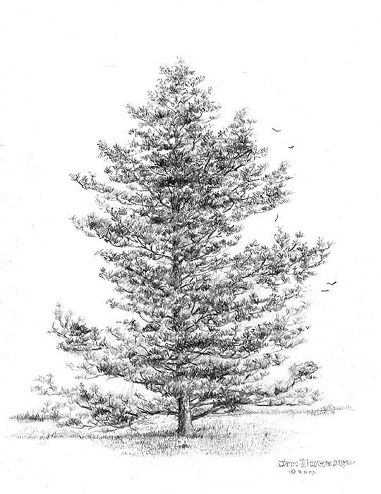 pine tree drawing - Google Search