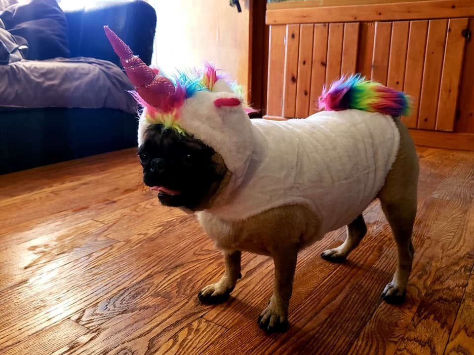 Psbattle This Dog In A Unicorn Costume Photoshopbattles