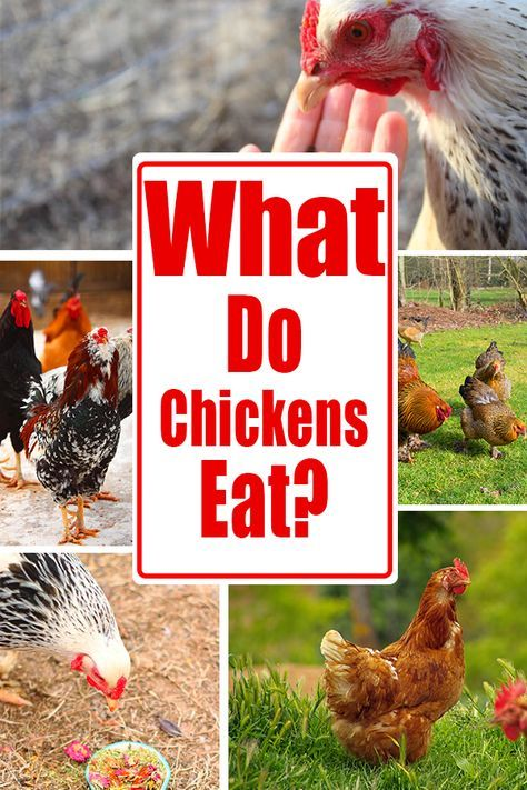 What Do Chickens Eat? | Chickens backyard, Chicken eating ...