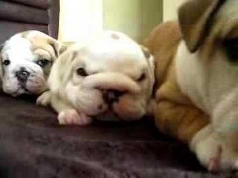 English Bulldog Puppies English Bulldog Puppies Bulldog Puppies