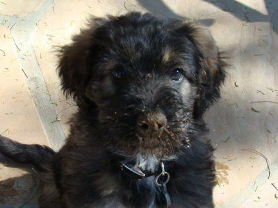 German Shepherd Poodle Mix So Cute Poodle Mix Designer Dogs