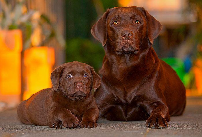 Chocolate lab Labrador retriever, Hunde, Hund und katze