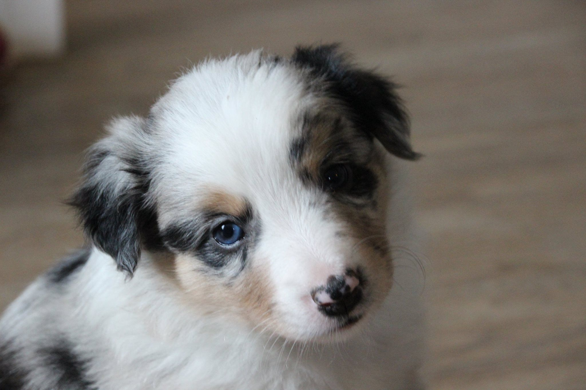 Wizard Tri Blue Merle Border Collie 4 Weeks And 6 Days Old