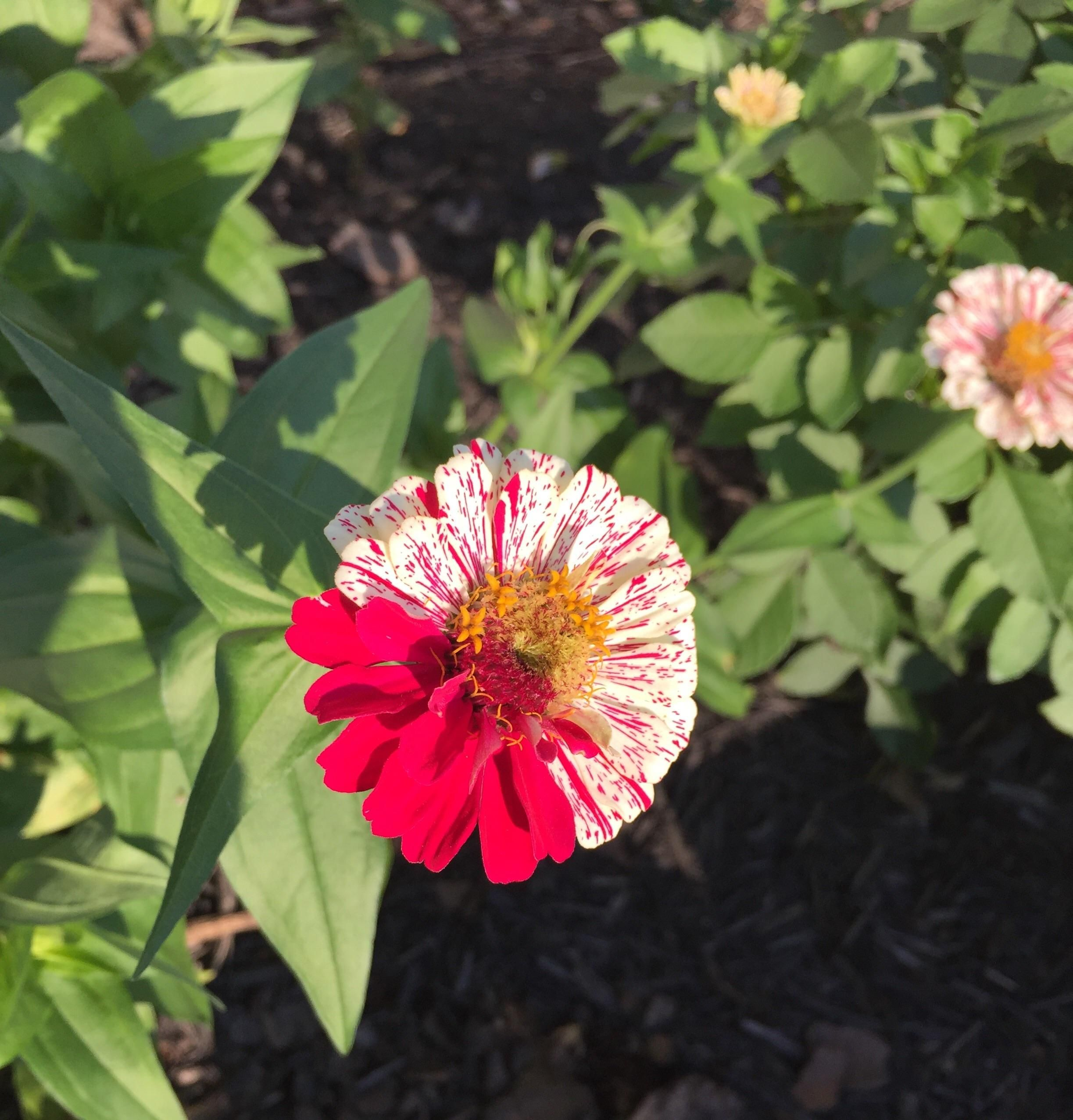 "One of my zinnias isn't completely ""candy striped"" like"