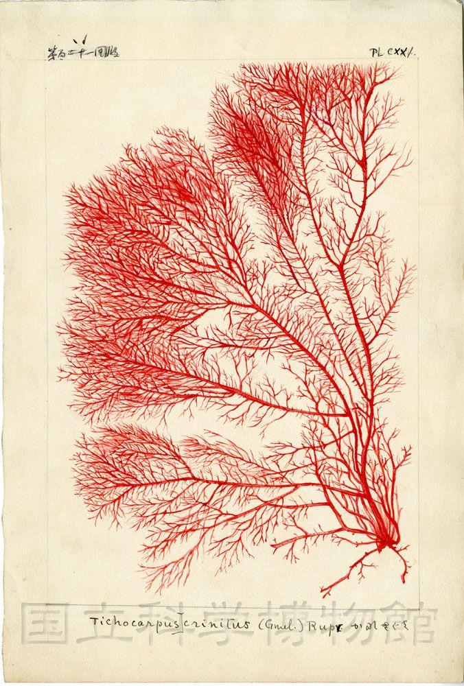 Icons of Japanese algae Vol. 3, No. 5 (1914), Pl. 121 Tichocarpus crinitus (Gmelin) Ruprecht - K.Okamura, Tokyo, 1914