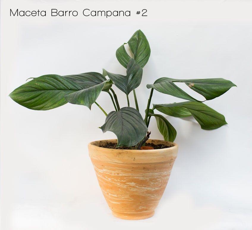 planta miami negro-maceta barro campana #2   venta de plantas y