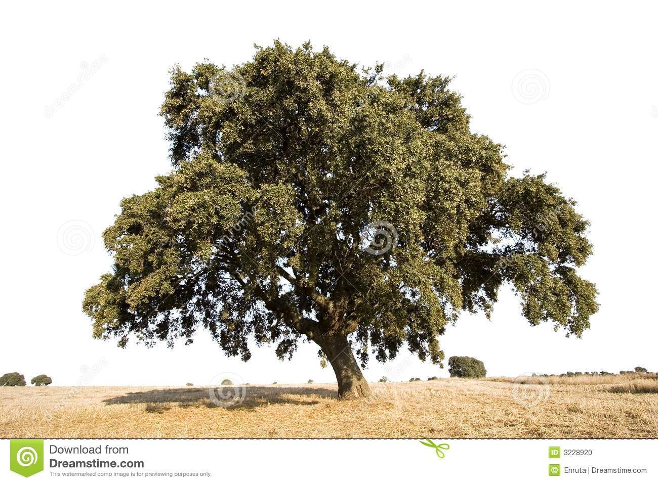 Isolated oak tree in sunny day sponsored ad