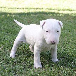 Imágenes Perros Pitbull Ingles Fotos De Perritos Bellos