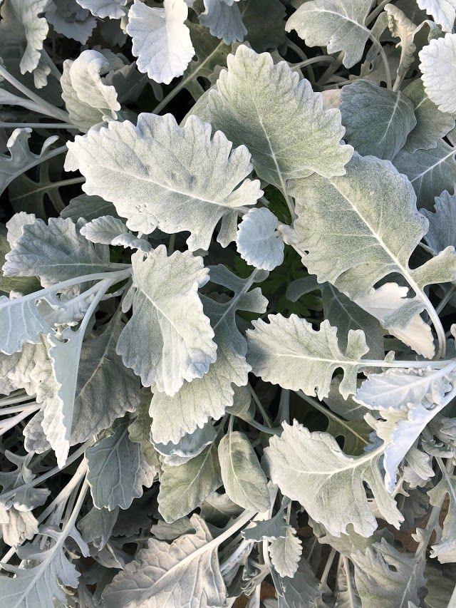 Silver foliage, Available year round in 2020 (With images