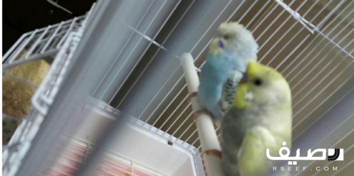 جوز بادجي ذكر هاف كرست النثى عادي Parrot Animals
