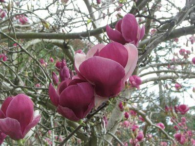 Another Reason I Love Living In The South Japanese Magnolias That Bloom At The Beginning Of February Tulips Flowering Trees Japanese Magnolia