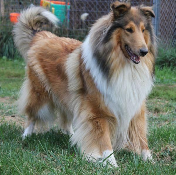 Pin By Aimee Rudd On Petsociety Rough Collie Sheltie Dogs