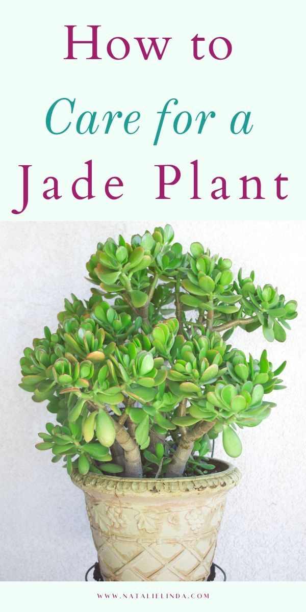 How to Care for a Jade Plant