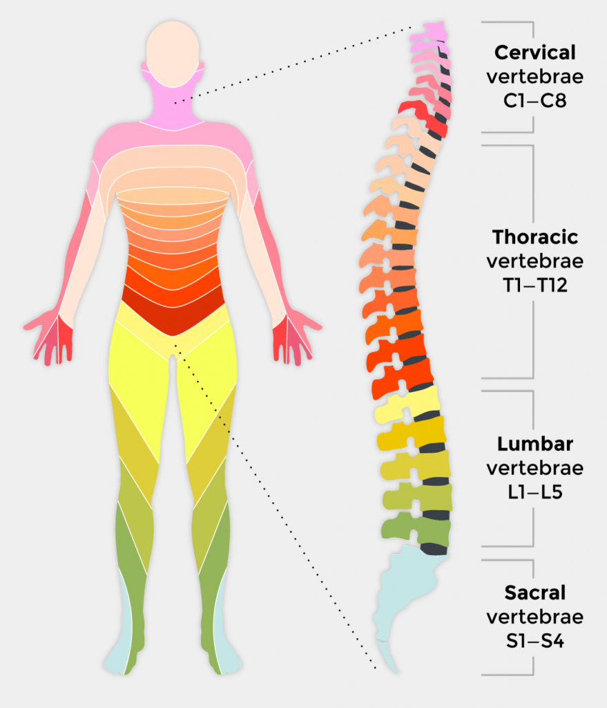 47+ The vertebrae that are located at the waist are trends