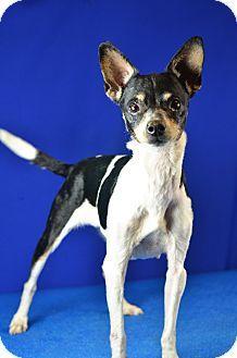 Lafayette La Rat Terrier Mix Meet Lexi A Dog For Adoption