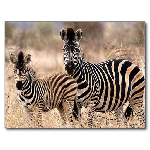 Mother and child - Zebra photo postcard