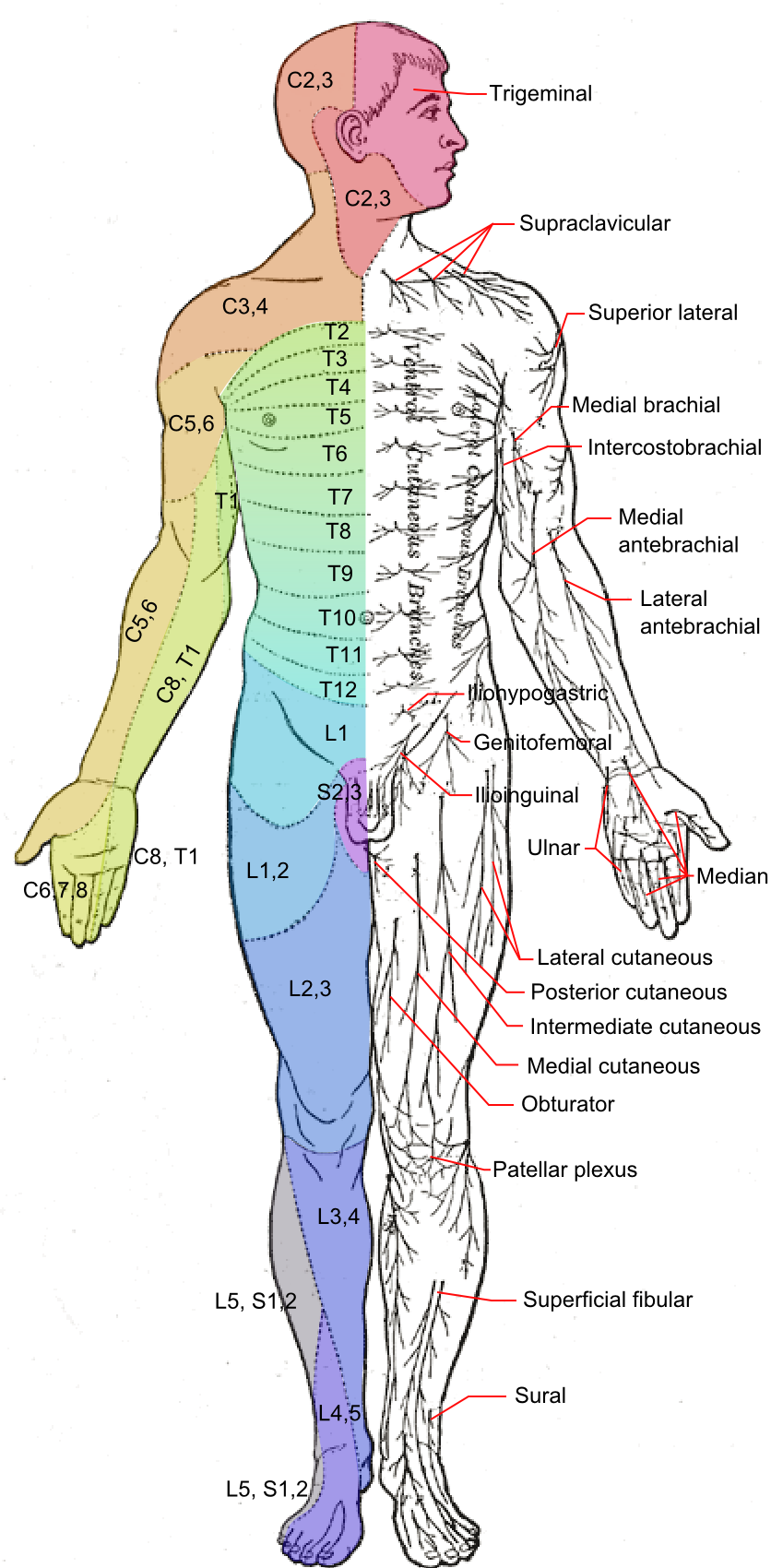 Dermatome patterns « RECOVERY from Sacroiliac Joint Dysfunction ...