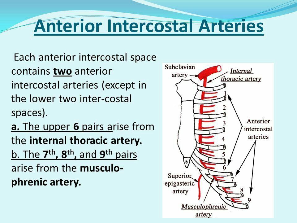 Anterior intercostal artery... | anatomy | Pinterest