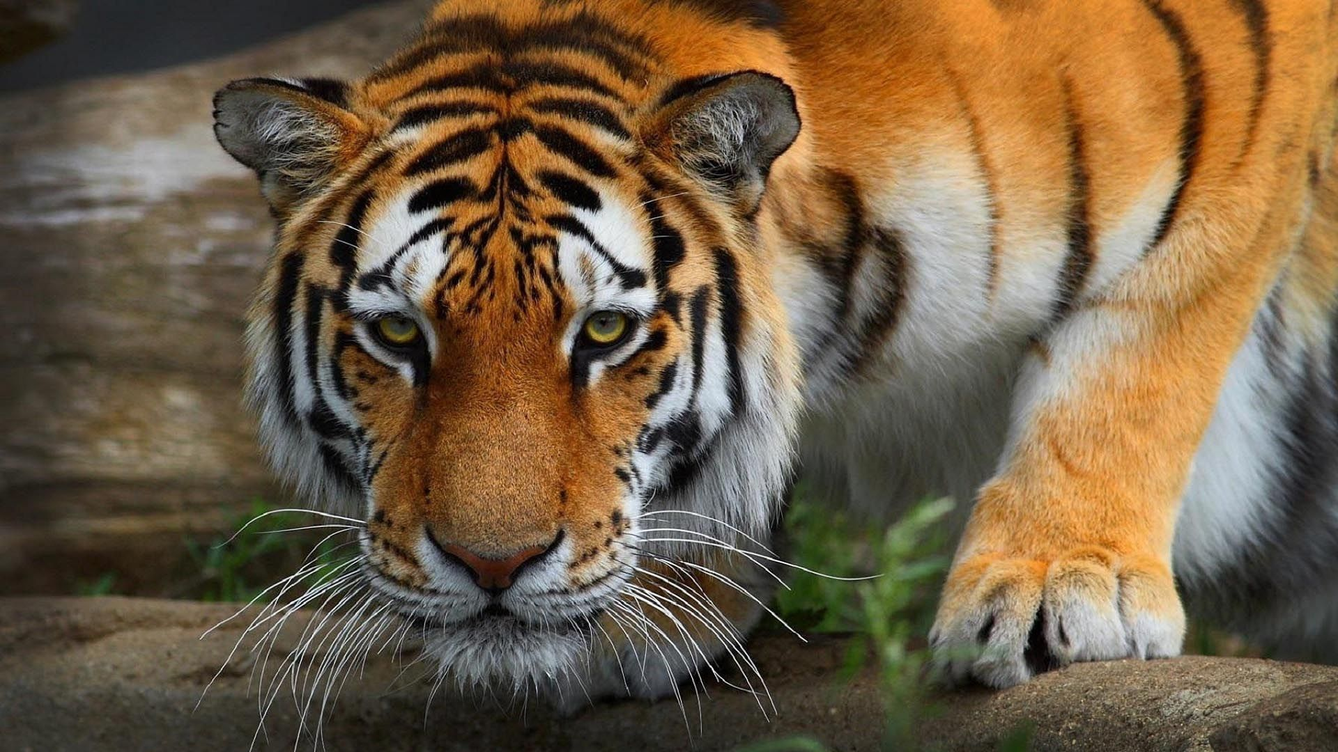 Desktop Hd Tiger Attack Pics 3d Hd Wallpaper Pinterest Animals