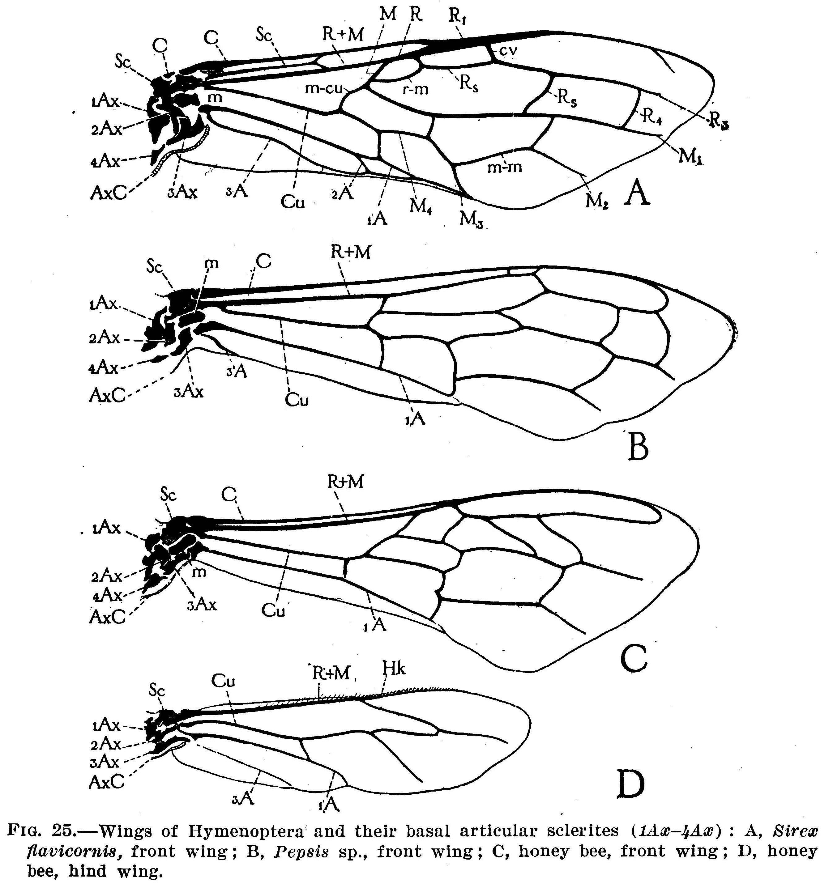 Honey Bee Wings Drawing