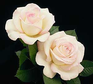 Good Pictures Hybrid Tea Roses care Style Hybrid tea will be the oldest number care