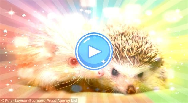 got an Extra special friend Rare albino hedgehog given away by its owner finds a new so Hes got an Extra special friend Rare albino hedgehog given away by its owner finds...