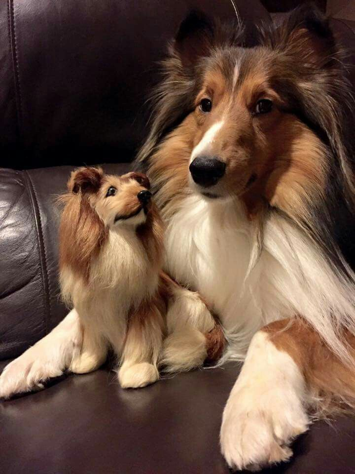 Sheltie With A Collie Toy Sheltie Puppy Beautiful Dogs