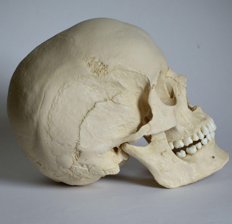 наверное картинки анатомический черепа если считаешь