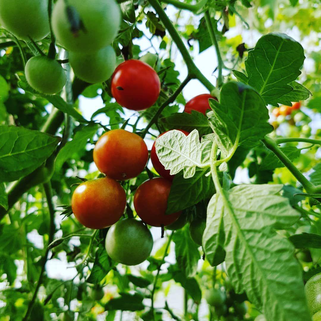 Les tomates cerises sont toujours aussi généreuses sous la