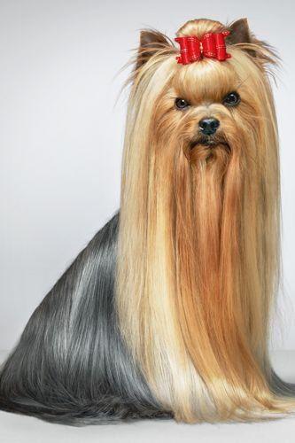 Get A Dog On Your Desktop Yorkie Dogs Yorkshire Terrier Yorkshire Terrier Dog
