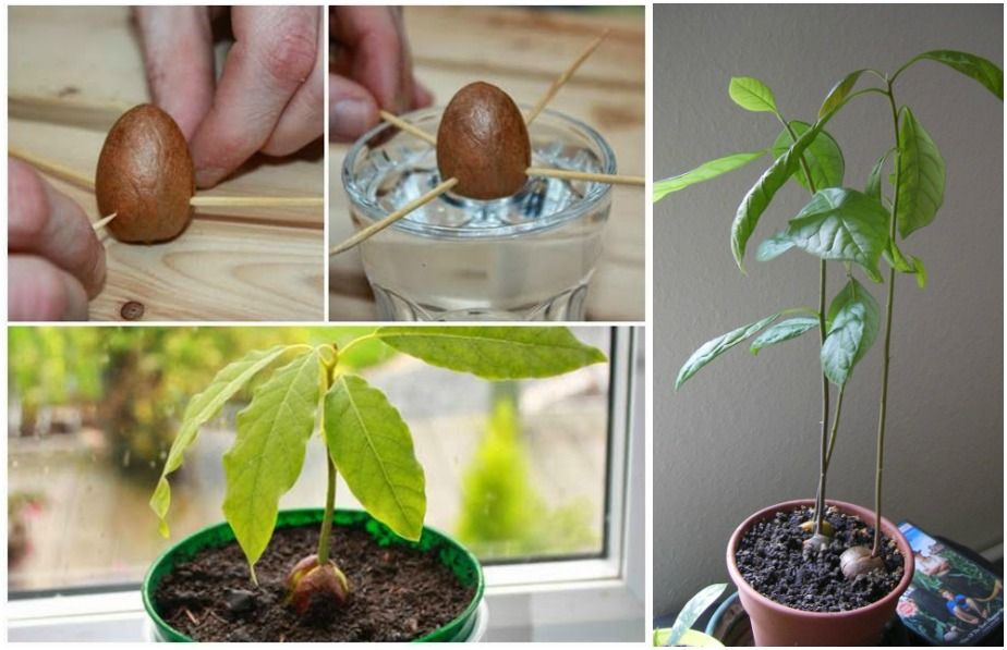 How to grow an avocado plant from seed growing an