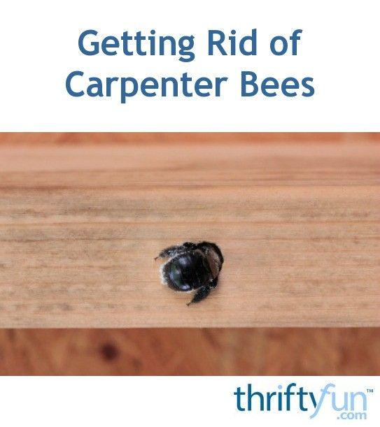 Getting Rid of Carpenter Bees   Carpenter bee, Wood boring ...