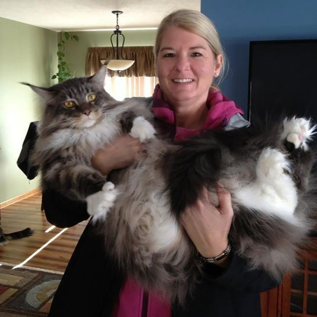 16 Cats So Enormous They Make All Others Look Like Kittens Fotos Con Gatos Gatos Obesos Gatos
