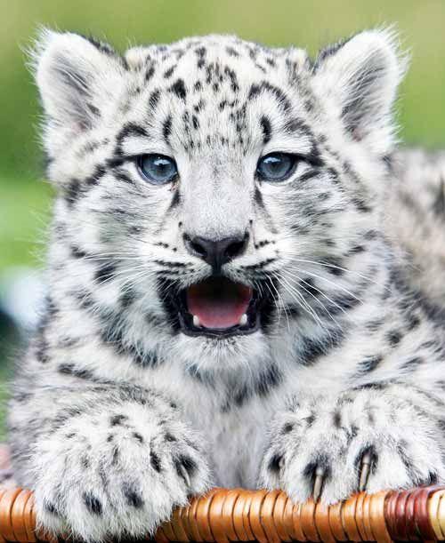 Leopardo das neves bebé | aquí estoy | Pinterest