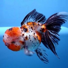 Calico Oranda I Love These Little Fish They Are So Cute Oranda Goldfish Goldfish Goldfish Species
