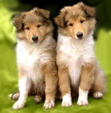 Rough Collie's are the cutest puppies ever!