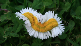 Natural Society: Photos: 'Mutant Daisies' Found In Fukushima 'Safe Zone'