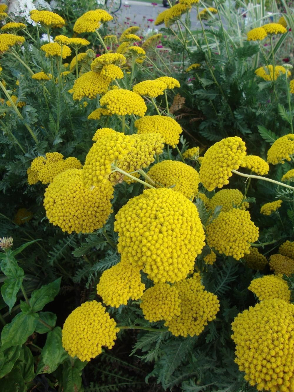 Plant More Yarrow Achillea Moonshine This Year Mushroomgrowhouse Yarrow Plant Plants Flowering Trees