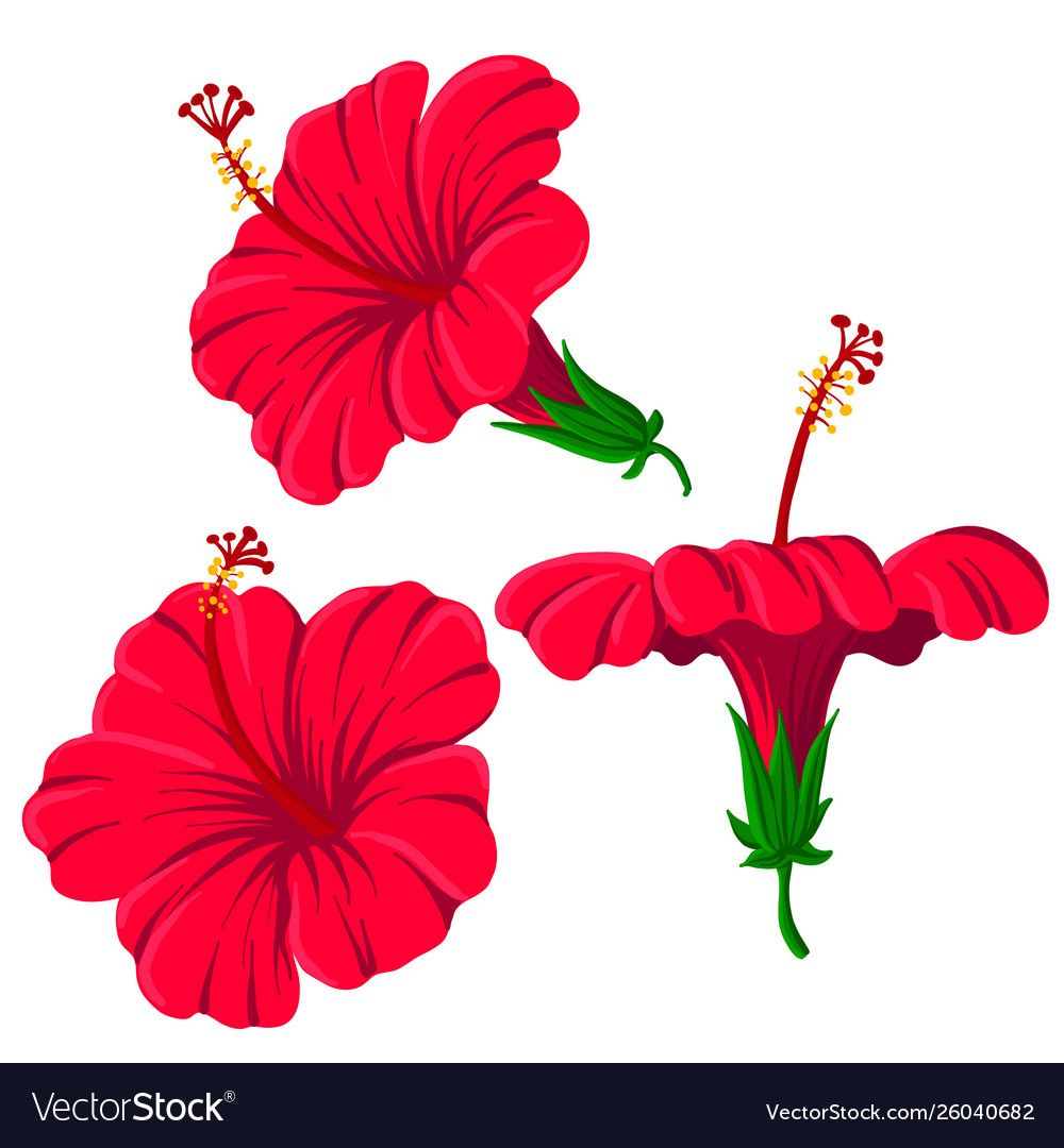 Drawing Hibiscus Flowers Vector Image On Hibiscus Flower Drawing Flower Drawing Hibiscus Flowers