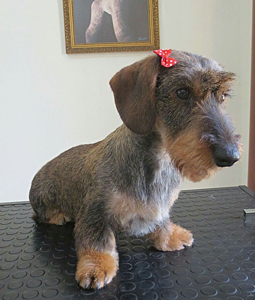 Wirehair Dog Grooming Salons Dog Grooming Dog Grooming Styles